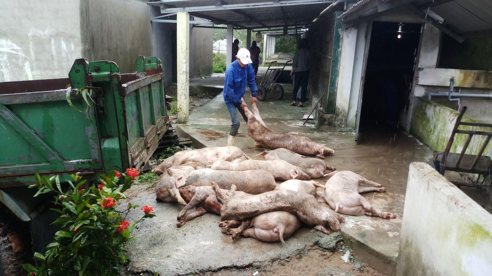 Tiếp tục giám sát trang trại chăn nuôi heo Việt Thái Swine Like
