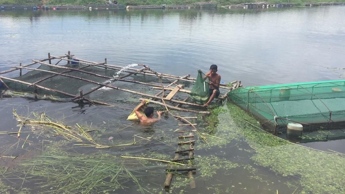 Quảng Điền: Cá lồng chết do nắng nóng
