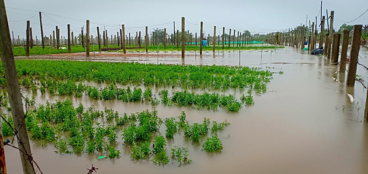 32 ha rau màu, hoa Quảng Điền bị ngập