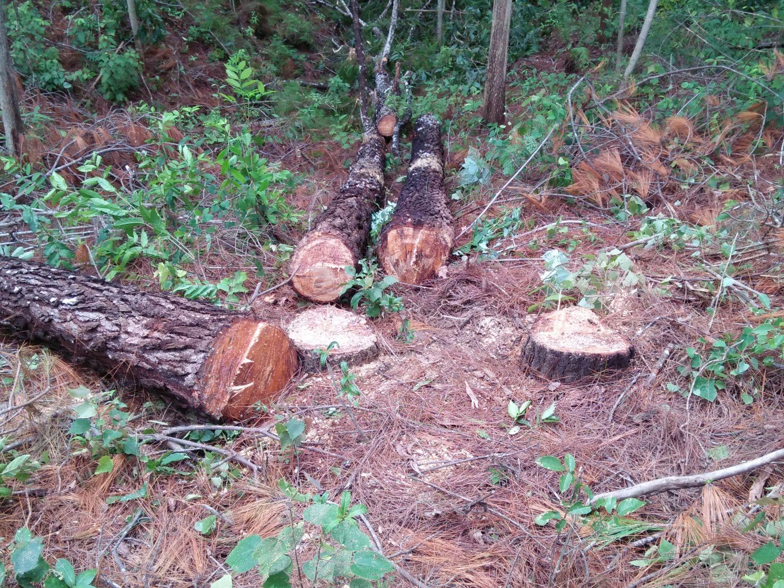 Tu sĩ Đan viện Thiên An cưa hạ rừng thông trái phép