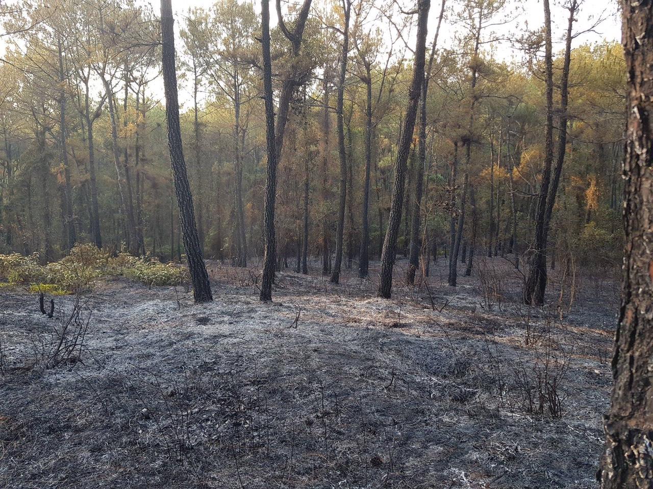 Hơn 200 cây thông bị thiêu rụi