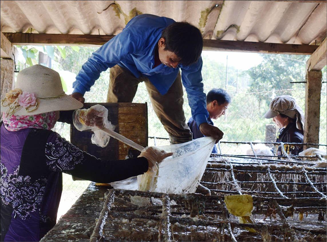 Phong Điền: Khai thác nhựa thông 2 lá