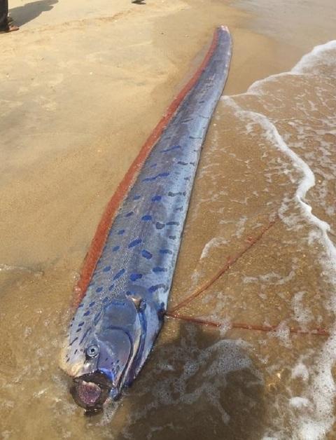 Liên tiếp phát hiện cá hố rồng dạt vào bờ biển