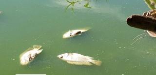 Cá chết trắng hồ Xã Tắc