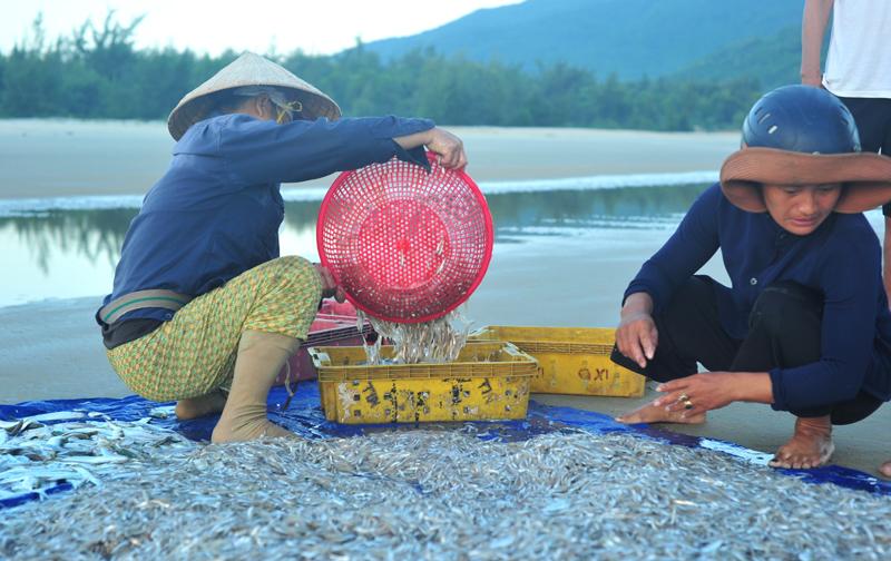 Trúng đợt cá cơm, ngư dân có nguồn thu nhập cao