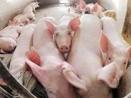 Thừa Thiên - Huế xuất hiện dịch tả lợn Châu Phi