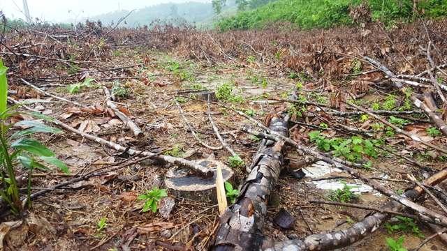 Tuyên truyền, ngăn chặn tình trạng chặt bỏ cao su ở Hồng Hạ