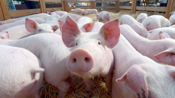 Bạn có hiểu về bệnh dịch tả lợn châu Phi ?