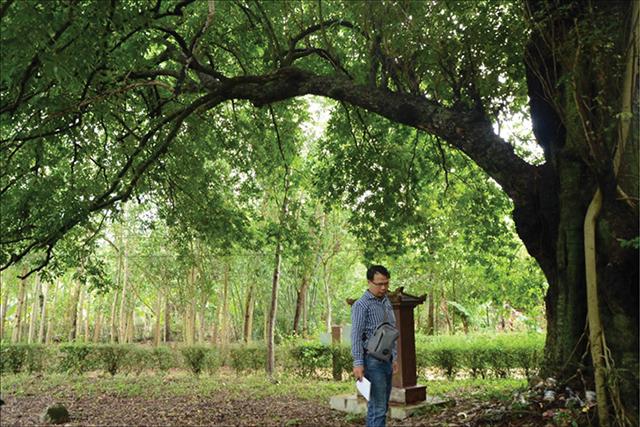 Bảo tồn cây thị di sản ở làng cổ Phước Tích