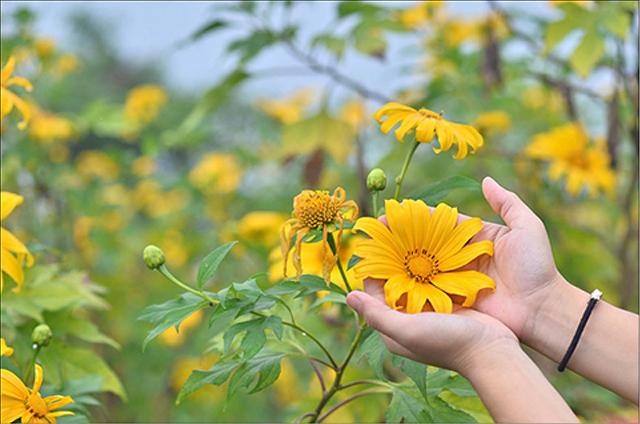 Đà Lạt mùa hoa dã quỳ